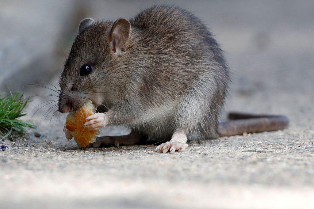 Rats Cannes